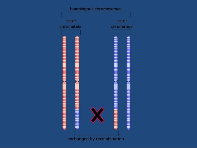 • RECIPROCAL RECOMBINATION: Equal exchange of genetic information • The process resulting in new DNA molecules that carry ...