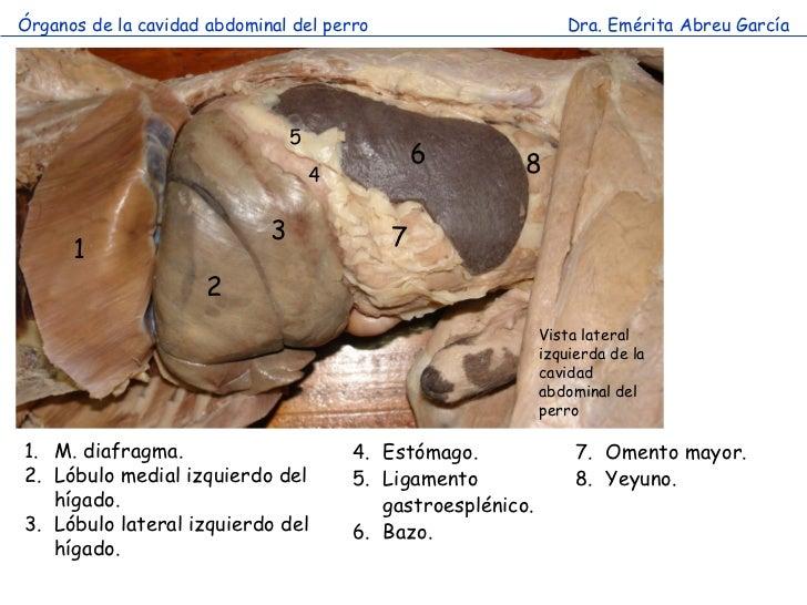 Reconocimiento de los organos abdominales