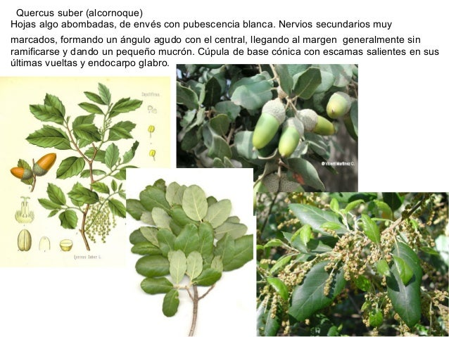 Quercus suber (alcornoque)Hojas algo abombadas, de envés con pubescencia blanca. Nervios secundarios muymarcados, formando...