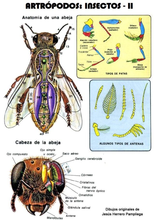 Vistoso La Anatomía De Una Abeja Molde - Imágenes de Anatomía Humana ...