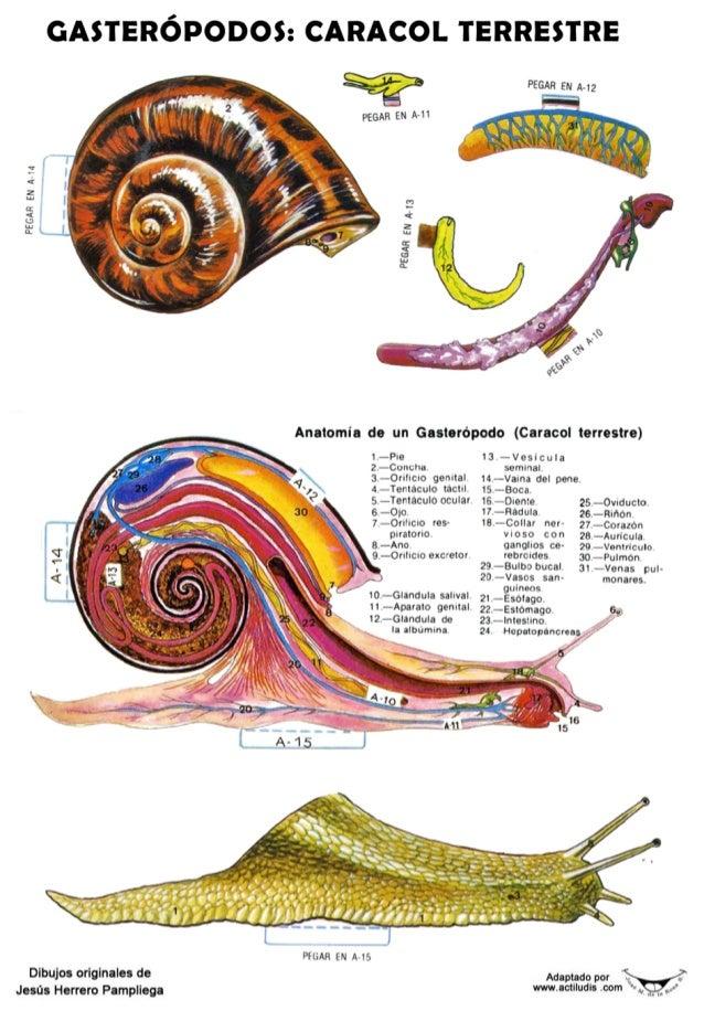 Famoso Anatomía De Un Caracol Ornamento - Imágenes de Anatomía ...
