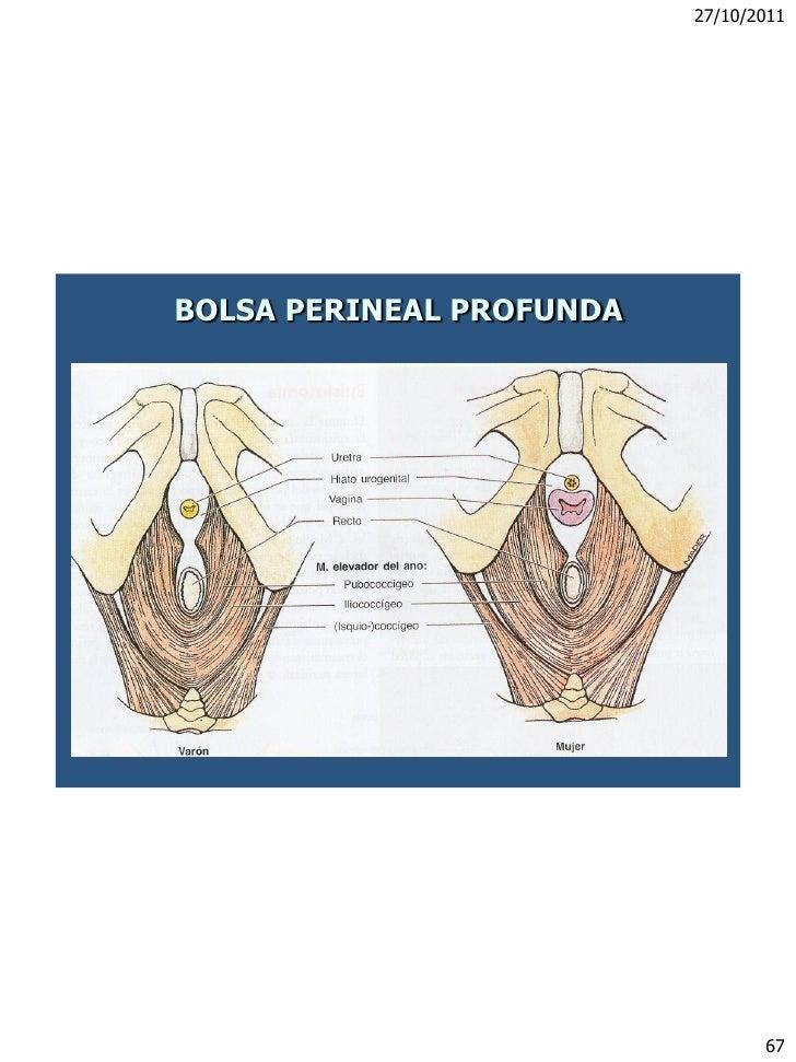 canal perine diafragma Pelviano Recto Anal kZuXPi