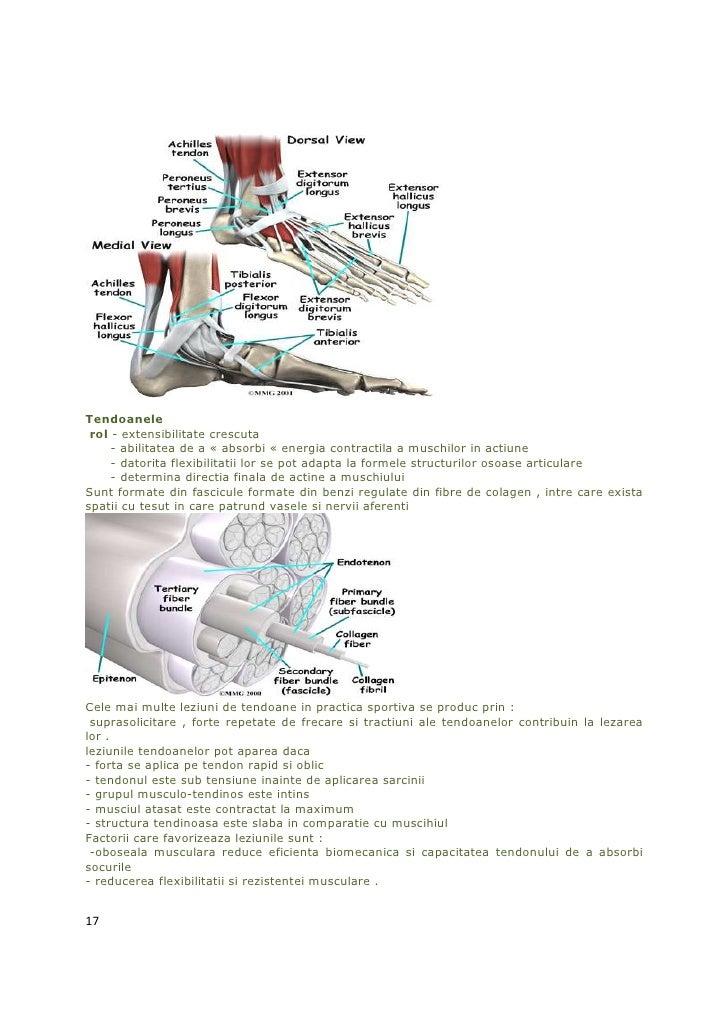 Tendoanele rol - extensibilitate crescuta     - abilitatea de a « absorbi « energia contractila a muschilor in actiune    ...