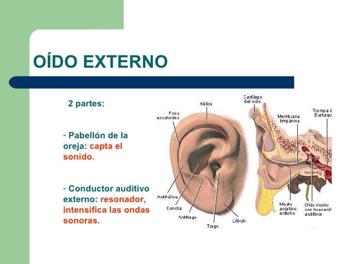Bonito Anatomía Del Diagrama Oído Externo Componente - Anatomía de ...