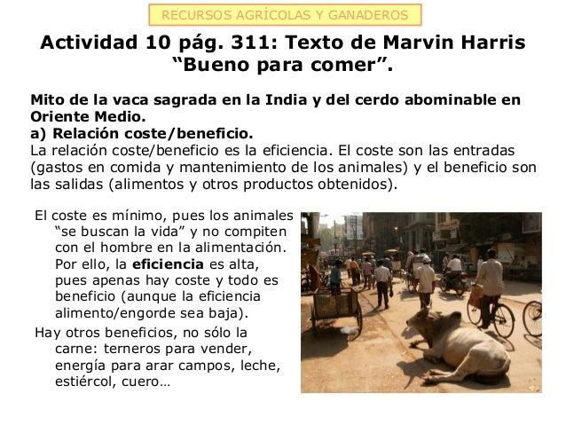 """RECURSOS AGRÍCOLAS Y GANADEROS Actividad 10 pág. 311: Texto de Marvin Harris             """"Bueno para comer"""".Mito de la vac..."""