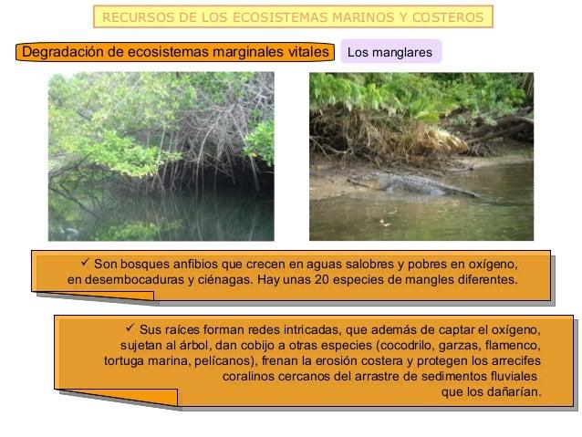 RECURSOS DE LOS ECOSISTEMAS MARINOS Y COSTEROSDegradación de ecosistemas marginales vitales          Los manglares        ...