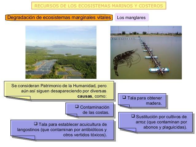 RECURSOS DE LOS ECOSISTEMAS MARINOS Y COSTEROSDegradación de ecosistemas marginales vitales          Los manglares Se cons...