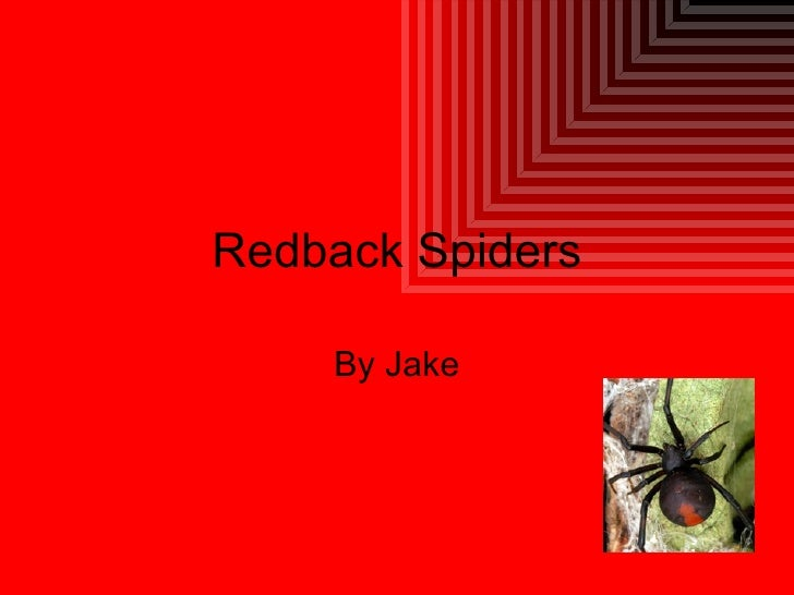 Redback Spiders By Jake
