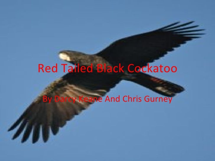 Red Tailed Black Cockatoo By Darcy Keane And Chris Gurney