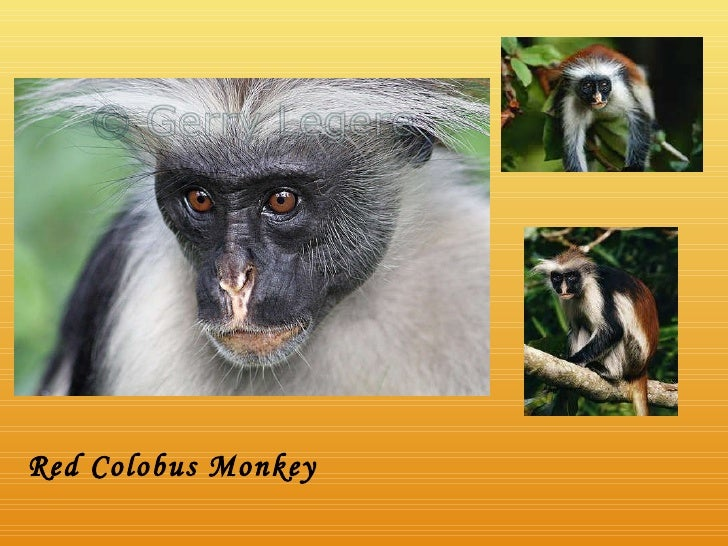 Red Colobus Monkey