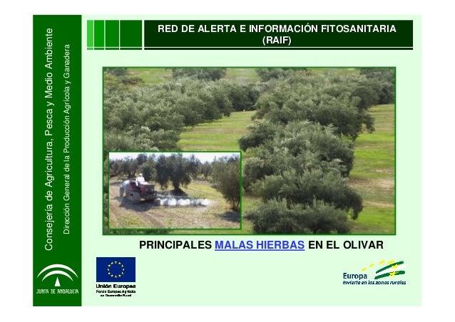 ConsejeríadeAgricultura,PescayMedioAmbienteDirecciónGeneraldelaProducciónAgrícolayGanaderaPRINCIPALES MALAS HIERBAS EN EL ...