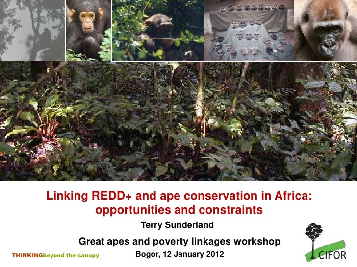 Linking REDD+ and ape conservation in Africa:                 opportunities and constraints                               ...