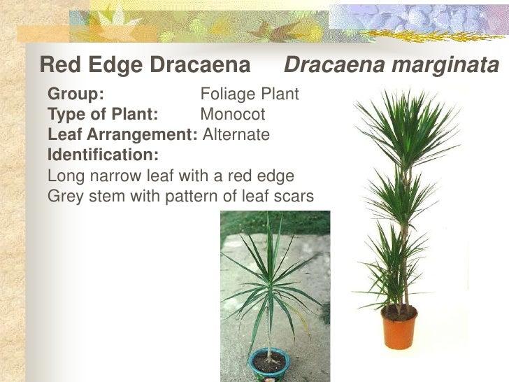 Red Edge Dracaena     Dracaenamarginata<br />Group:Foliage Plant<br />Type of Plant:Monocot<br />Leaf Arrangement: Alte...