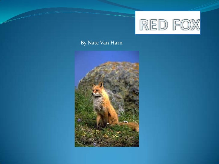 RED FOX<br />By Nate Van Harn<br />
