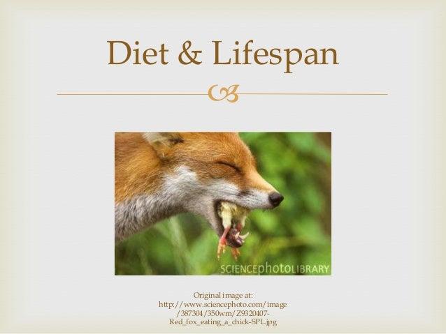  Diet & Lifespan Original image at: http://www.sciencephoto.com/image /387304/350wm/Z9320407- Red_fox_eating_a_chick-SPL....