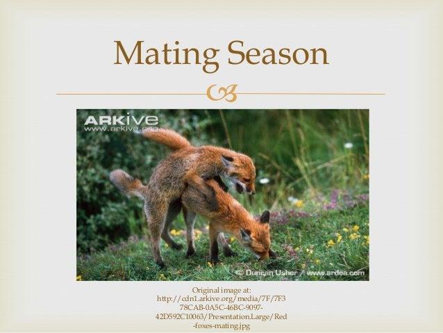  Mating Season Original image at: http://cdn1.arkive.org/media/7F/7F3 78CAB-0A5C-46BC-9097- 42D592C10063/Presentation.Lar...