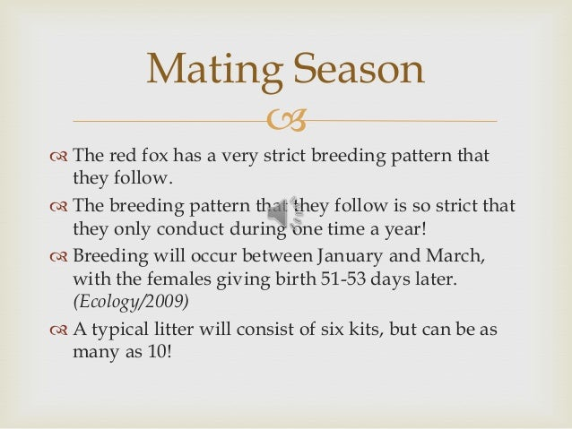   The red fox has a very strict breeding pattern that they follow.  The breeding pattern that they follow is so strict ...