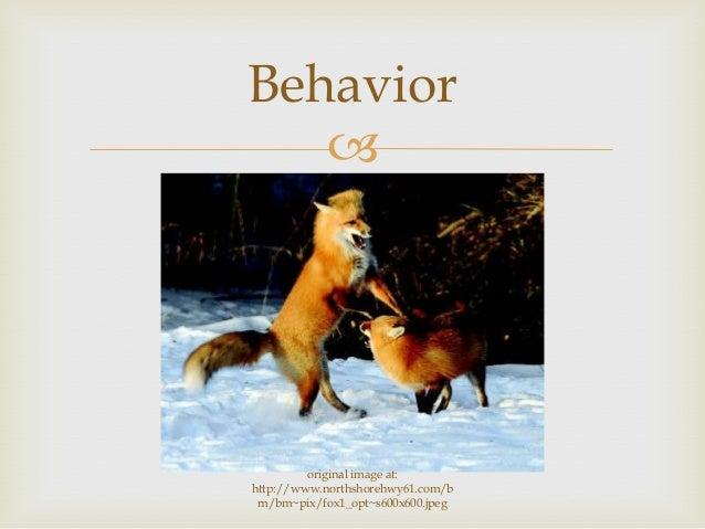  Behavior original image at: http://www.northshorehwy61.com/b m/bm~pix/fox1_opt~s600x600.jpeg