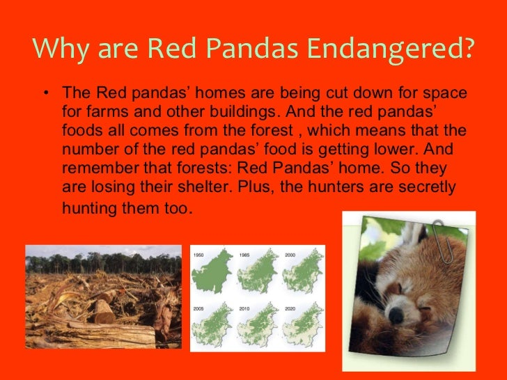 Ailurus Fulgens 12 Why Are Red Pandas Endangered Slideshare Red Panda