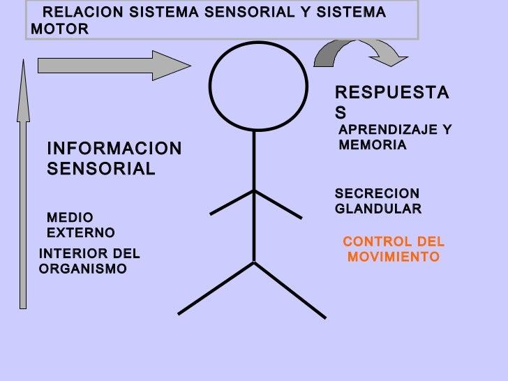 RELACION SISTEMA SENSORIAL Y SISTEMAMOTOR                               RESPUESTA                               S         ...