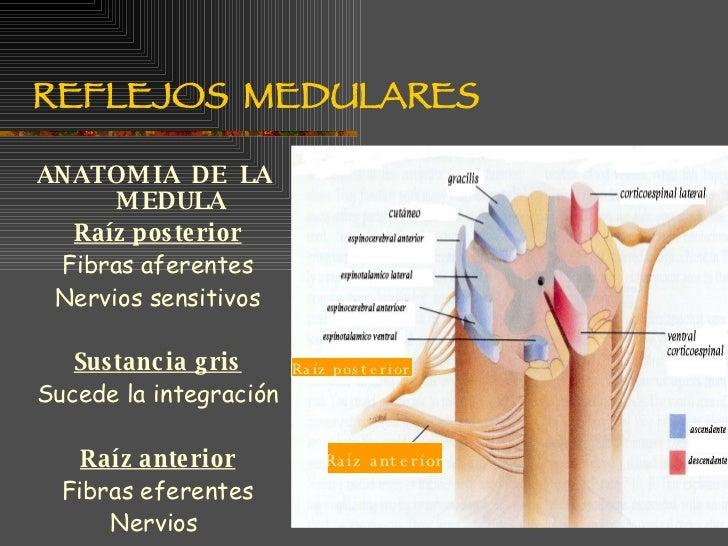 Reflejos Medulares2