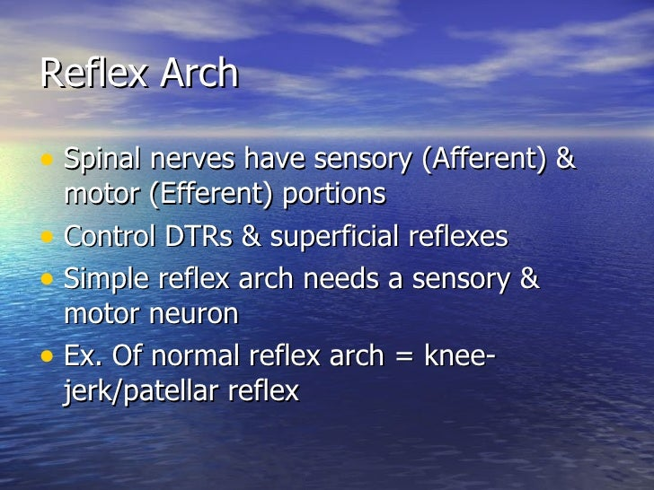 Reflex Arch <ul><li>Spinal nerves have sensory (Afferent) & motor (Efferent) portions </li></ul><ul><li>Control DTRs & sup...