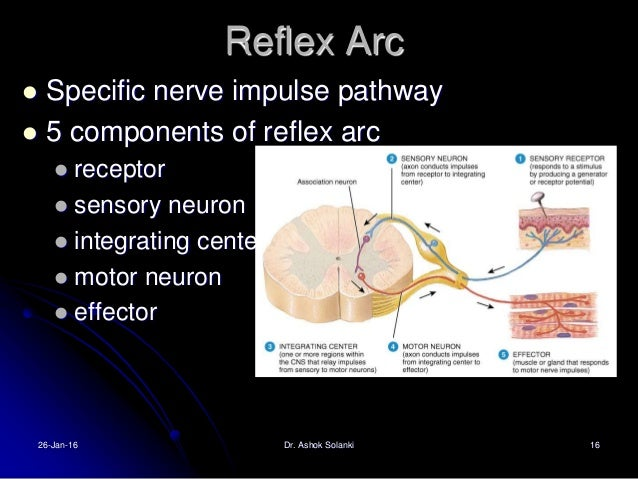 dive reflex pattern of reflexes triggered This reflex response is initiated the diving response is triggered when animals dive physiological reports published by wiley periodicals, inc on.
