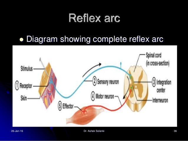 Integration center reflex arc diagram diy enthusiasts wiring reflexes clasifications and functions rh slideshare net parts of a reflex arc reflex arc diagram unlabeled ccuart Image collections