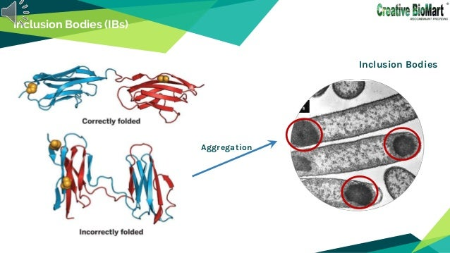Refolding of inclusion body proteins from e. coli Slide 2