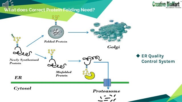  ER Quality Control System What does Correct Protein Folding Need?