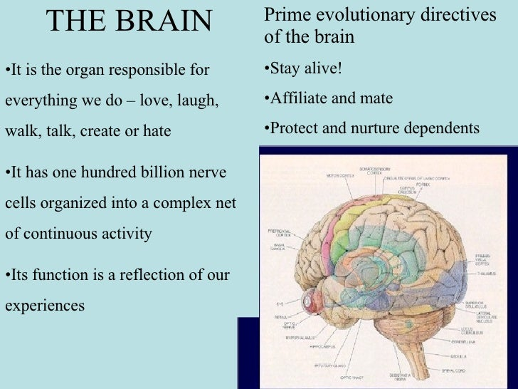 <ul><li>THE BRAIN </li></ul><ul><li>It is the organ responsible for everything we do – love, laugh, walk, talk, create or ...