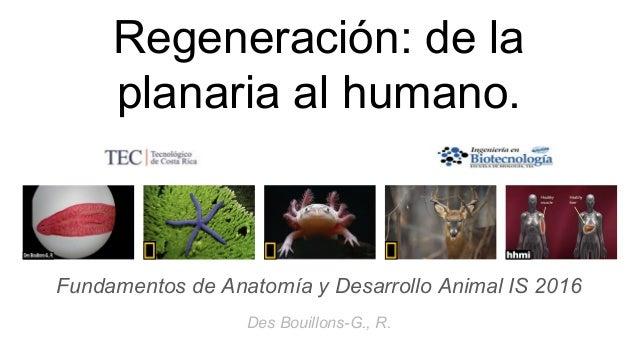 Regeneración de la planaria al humano.