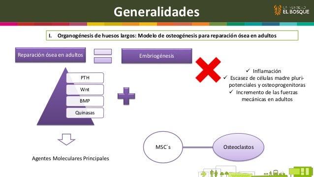 Generalidades II. El hueso es formado a través de mecanismos fuertemente regulados Formación Ósea Células mesenquimales Co...