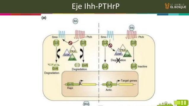 Wnt Son una familia de proteínas secretadas que están involucradas en varios aspectos importantes de función celular, part...