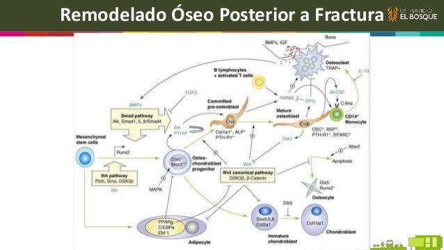 Generalidades Periodonto dañado Capacidad de regeneración limitada Ejemplo de la ortodoncia Primeras fases de enfermedad p...