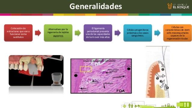 Potencial de Diferenciación de las Stem Cells del LP Stem cells de médula ósea pueden ser inducidas a formar depósitos min...