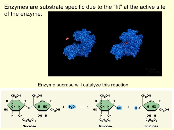 substrate specificity of invertase Structure of saccharomyces invertase 1 the three-dimensional structure of saccharomyces invertase: catalytic domain in oligomerization and substrate specificity.