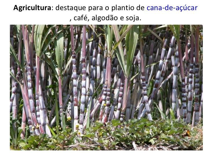 Agricultura : destaque para o plantio de  cana-de-açúcar , café, algodão e soja.