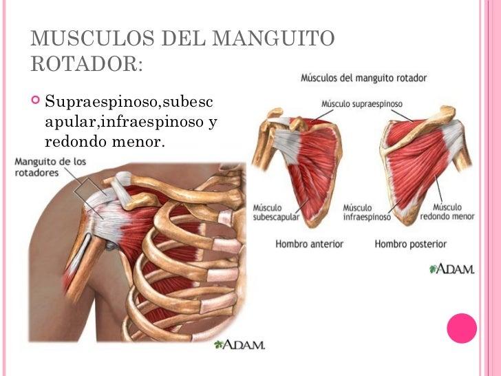 Encantador Del Manguito De Los Rotadores Anatomía Músculos Bosquejo ...