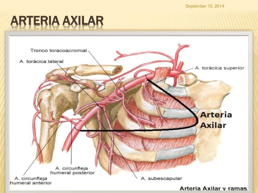 Lujo Axilar Regalo - Anatomía de Las Imágenesdel Cuerpo Humano ...