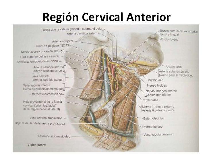 Magnífico Región Cervical Bandera - Anatomía de Las Imágenesdel ...