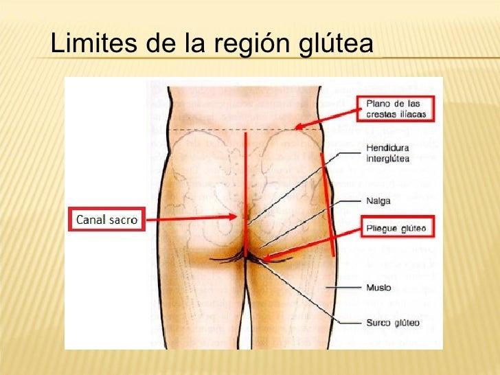 Lujo Anatomía De La Zona De Los Glúteos Ilustración - Anatomía de ...