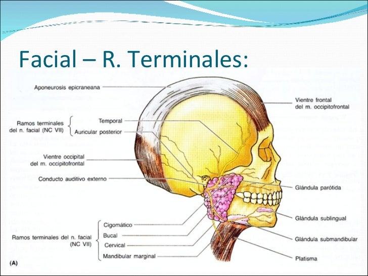 Magnífico Anatomía Del Nervio Facial Foto Embellecimiento - Anatomía ...