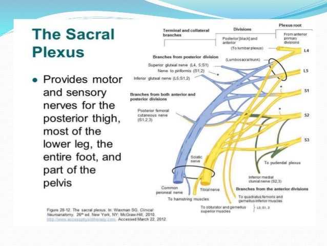 regional anaesthesia lower limb blocks, Muscles