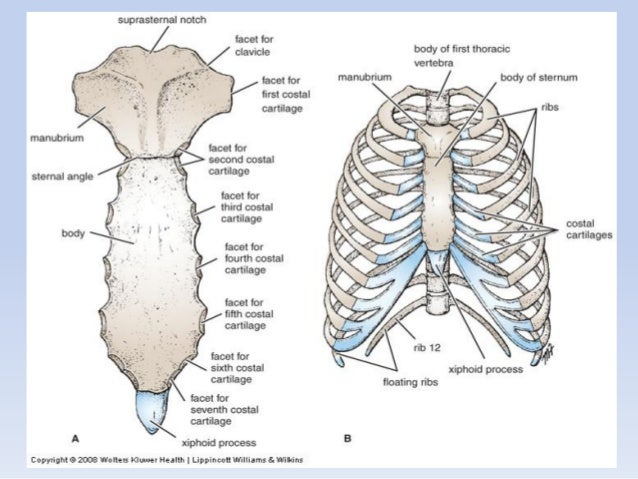 Thorax anatomy questions