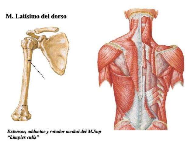 Region axilar, deltoescapular y plexo braquial