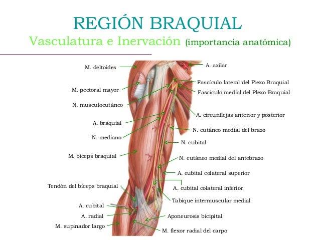 Anatomía del biceps, el braquial se encuentra al lateral del bíceps