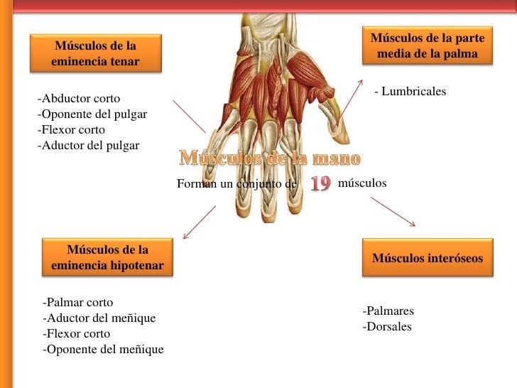Vistoso Huesos De La Mano Y De Los Músculos Embellecimiento ...