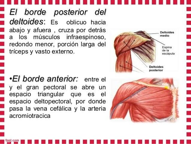 • Bolsas serosas:Bolsas serosas: En el tejido subcutáneo existen dos bolsas una en la cara externa del humero llamada bols...