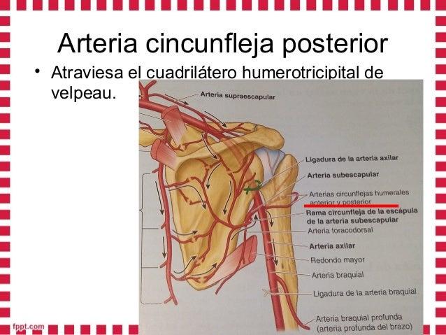 • Arteria circunfleja anteriorArteria circunfleja anterior::